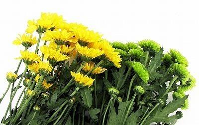 0812菊の花 -01   _1930-s.jpg